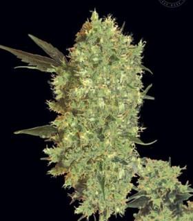Bulk Seed Bank Marley's Bud