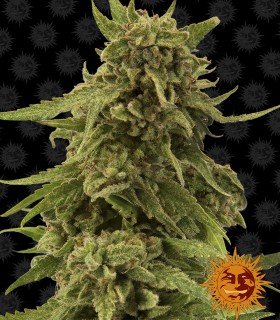 CBD Critical Cure by Barneys Farm Seeds