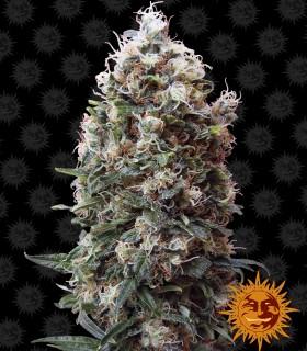Phatt Fruity by Barneys Farm Seeds