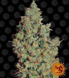 Tangerine Dream by Barneys Farm Seeds