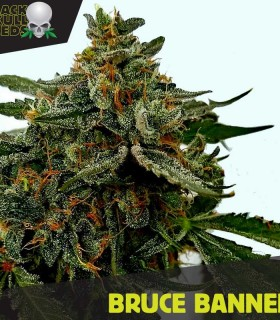 Bruce Banner by Black Skull Seeds