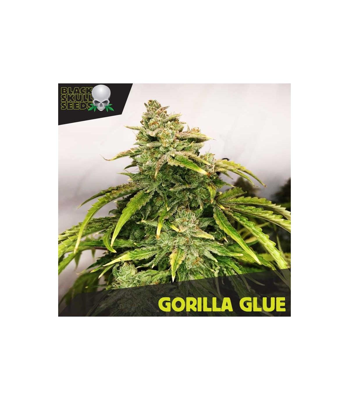 Gorilla Glue - 3 feminized