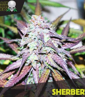 Sherbert by Black Skull Seeds