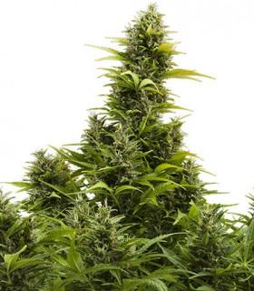 Medikit CBD Auto by Buddha Seeds