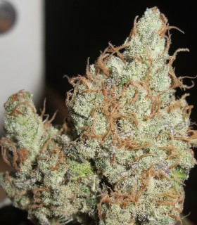 Super Silver Grapefruit by Ultra Genetics Seeds