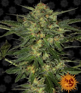 Barneys Farm Seeds LSD
