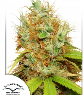 Dutch Passion Seeds Mazar