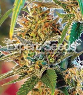 Expert Seeds California Orange