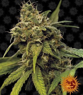 Barneys Farm Seeds Utopia Haze
