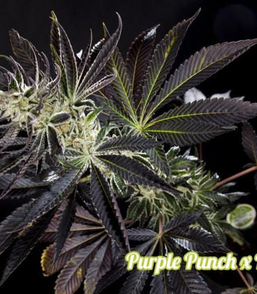 Purple Punch x Do-Si-Dos