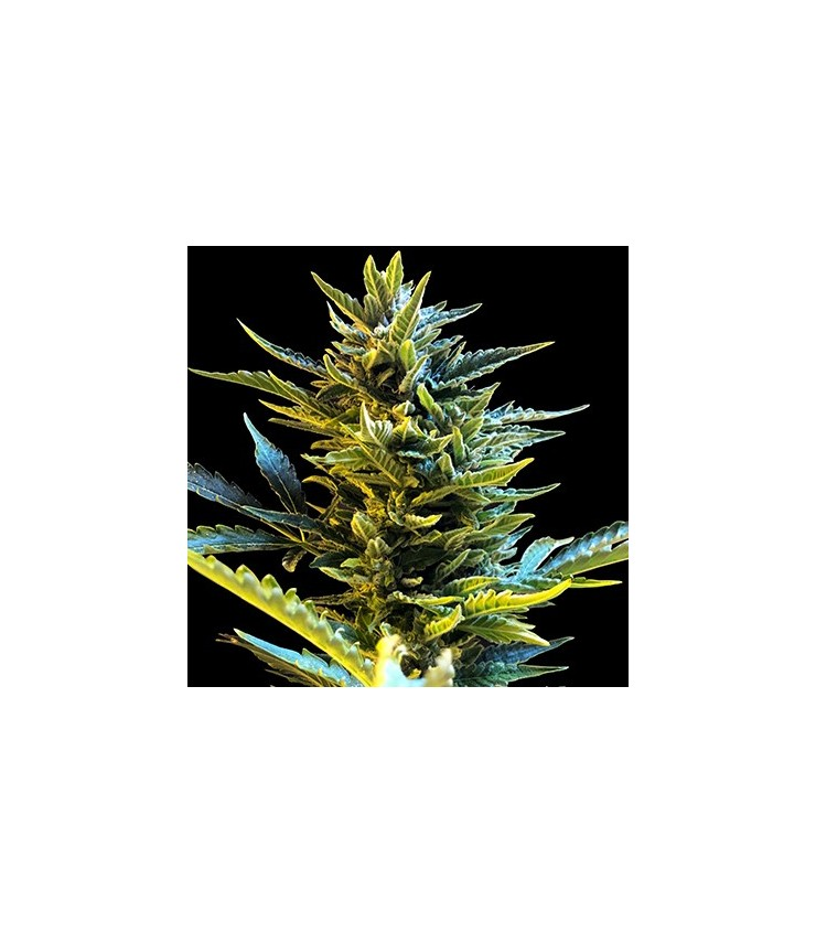 Buy G13 Labs Auto Bride Cake Cannabis Seeds