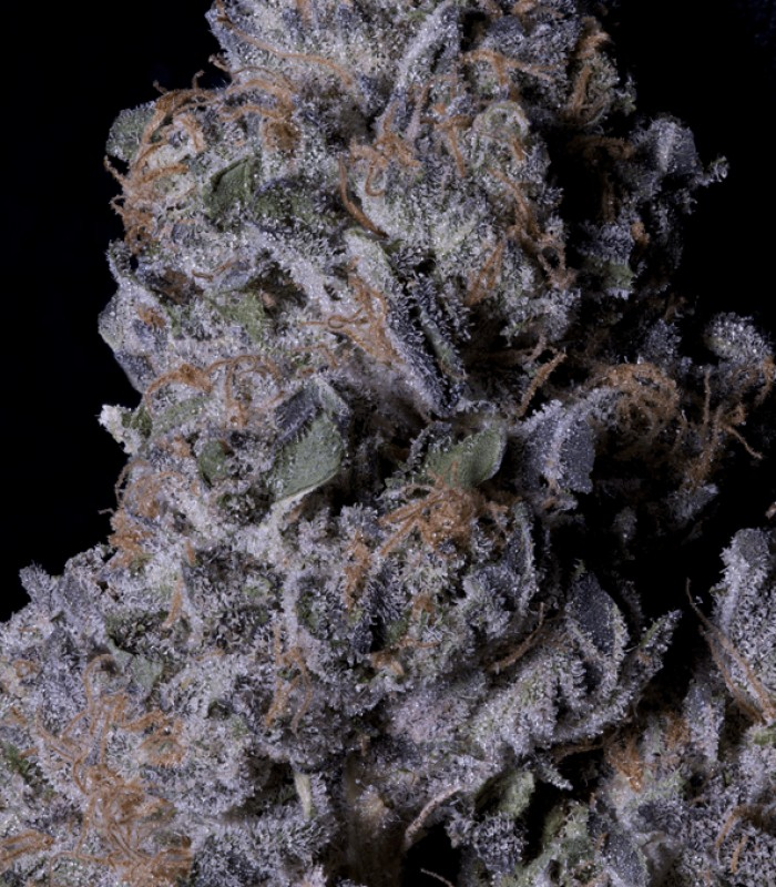 Don Purple Dick