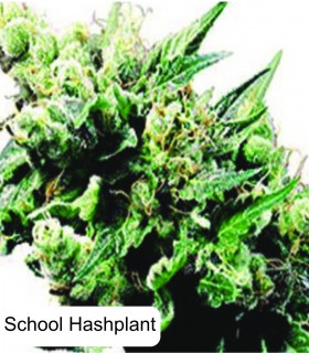 Auto Old School Hashplant