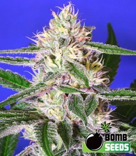 Edam Bomb by Bomb Seeds
