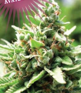 Sol Mate Autoflower