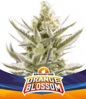 Orange Blossom Auto