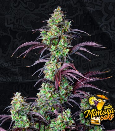 Mimosa Cake Auto by FastBuds Seeds