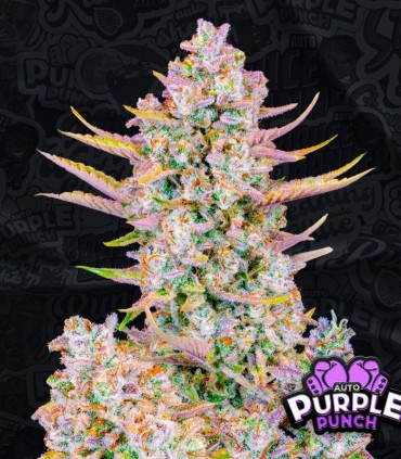 Purple Punch Auto
