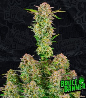 Bruce Banner Auto by FastBuds Seeds