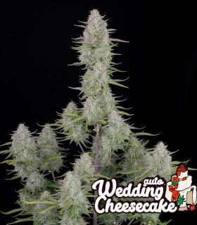 Wedding Cheesecake Auto by FastBuds Seeds