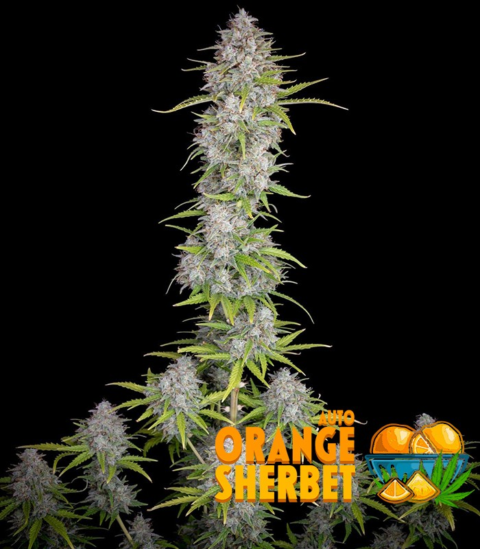 Orange Sherbet Auto by FastBuds Seeds