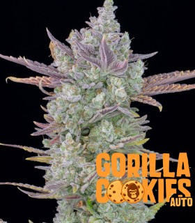 Gorilla Cookies Auto by Fastbuds Seeds