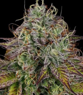 Apricot Candy by Paradise Seeds