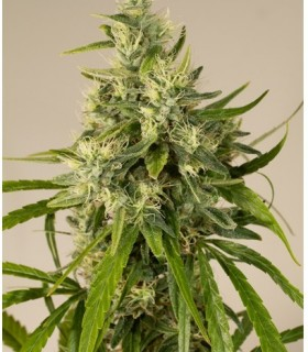 Trainwreck by Humboldt Seed Organization