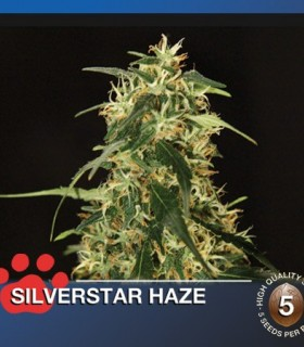 Silver Star Haze by The Bulldog Seeds