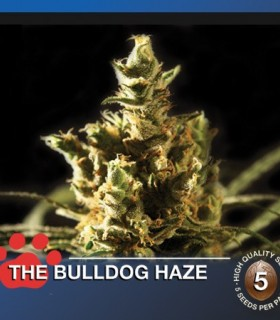The Bulldog Haze by The Bulldog Seeds