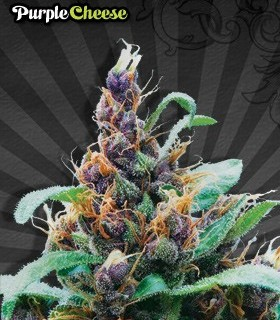 Purple Cheese by Auto Seeds