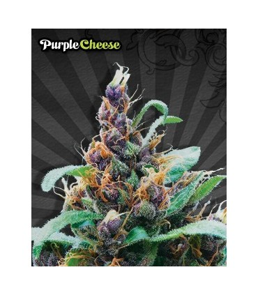 Purple Cheese