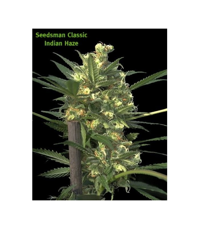Buy Seedsman Indian Haze - Cannabis Seeds-6073