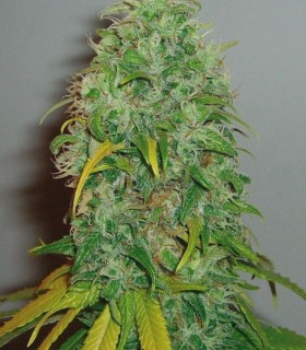 Skunk 1 by Royal Queen Seeds