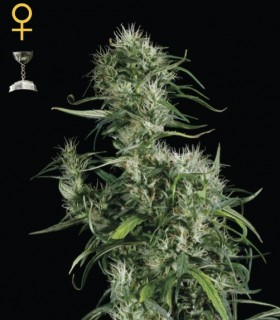Neville Haze by Greenhouse Seeds