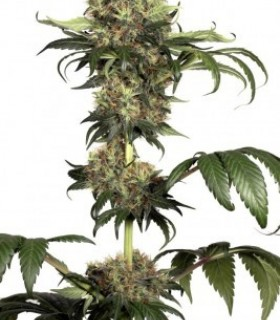 Isis  by Dutch Passion Seeds
