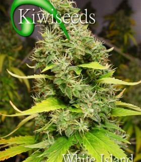 White Island by Kiwi Seeds