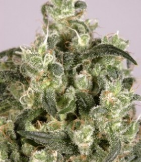 Mekong High by Dutch Passion Seeds