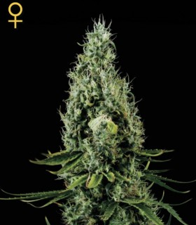 Arjan Haze 3 by Greenhouse Seeds