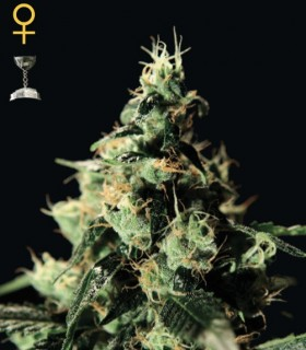 Chemdog by Greenhouse Seeds