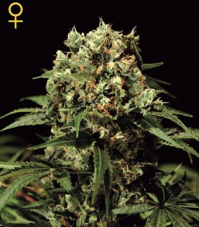 Kalashnikova by Greenhouse Seeds