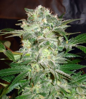 Mazar Kush by World of Seeds