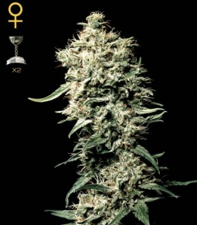 White Rhino by Greenhouse Seeds