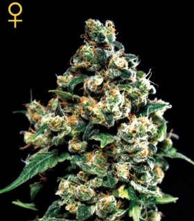 Jack Herer by Greenhouse Seeds
