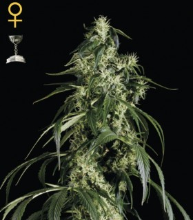 Arjan Haze 1 by Greenhouse Seeds