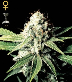Great White Shark by Greenhouse Seeds