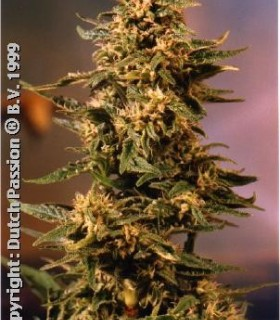 Voodoo  by Dutch Passion Seeds