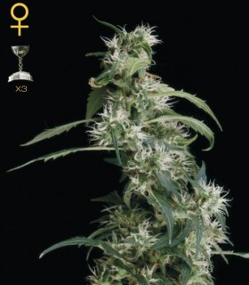 Arjan Ultra Haze 2 by Greenhouse Seeds