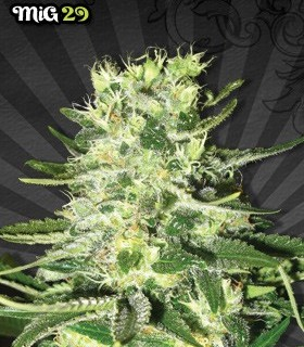 MiG-29 by Auto Seeds