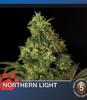 Northern Light by The Bulldog Seeds